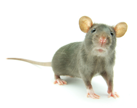 Mice can cause significant damage to vehicles